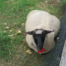 羊さんとても可愛いです。