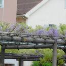 亀戸天神社 藤まつり