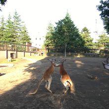 園内はカンガルーが普通に横通ってました
