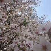 見渡す限りの桜、桜、桜