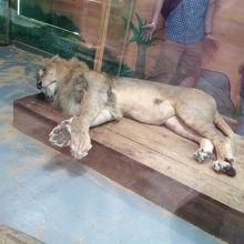 ライオンがいます