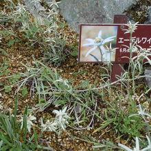 エーデルワイスの花を初めて見ました