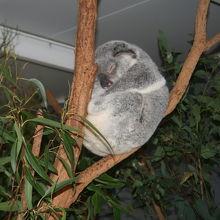 コアラ。たくさんいます。