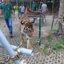 檻の中は大トラが三匹歩き回っています そんな中に入りました