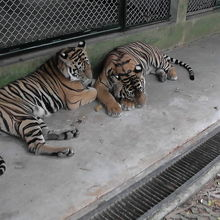 檻の中の休憩中のトラ