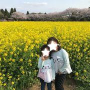 菜の花満開 成田ゆめ牧場