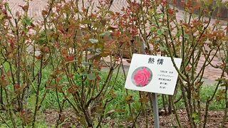 石橋文化センター 秋のバラフェア