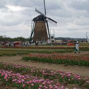 定着した風車とチューリップ