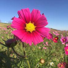 ピンクコスモスは5分咲きでした。