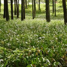 5月の連休が見頃、シャガの森