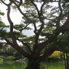 根上がりの五葉松は 思いのほか、大きいです。