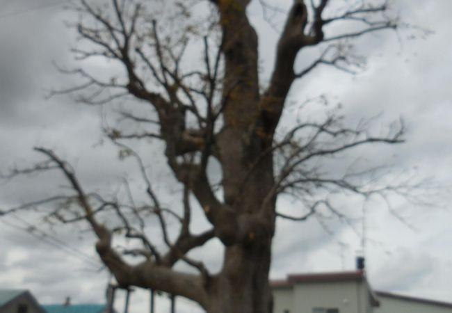 剣淵町開拓記念木