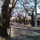 常盤平桜並木