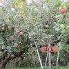 りんごのデザートが部屋にありました