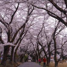 約750mの桜のトンネル