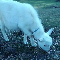 外で放し飼いになっていた子山羊