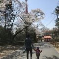八幡山公園のお花見