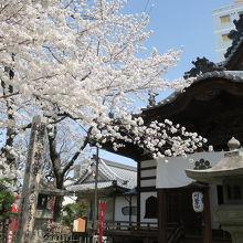 桜と絵解きの寺