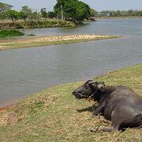 近くの池は水牛天国です