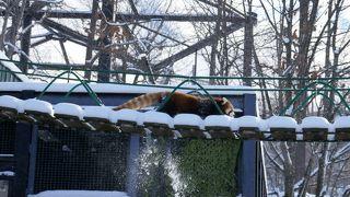 活発なレッサーパンダ