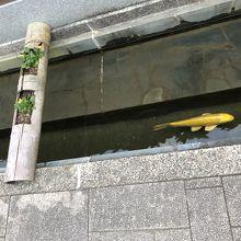 通りのそばの水路で泳ぐ鯉
