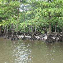 川沿いにあるマングローブ