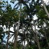 珍しいヤシ林の群落