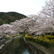 春は菜の花に桜が満開です