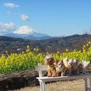 湘南平よりも素晴らしい?~富士山と菜の花の景色の絶景