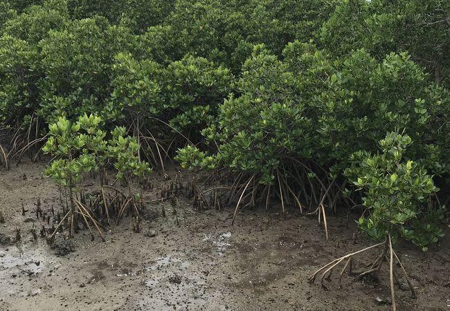 マングローブ林 小浜島