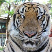 猫好きトラ好きにはたまらなく最高です♪