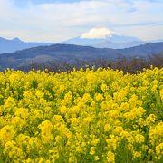 菜の花と富士山 絵になります!