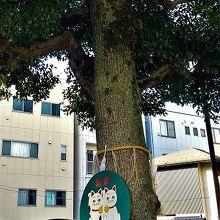 とても立派な木です。猫看板の下のほうは絵馬を飾ってありました