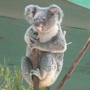 コアラ抱っこができますし、カンガルーなども放し飼い。癒されます。