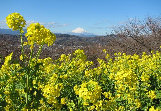 駅裏手で菜の花に富士山が素晴らしい眺望ハイキング