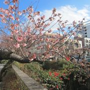 1月18日もう熱海桜が咲いています。