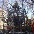 樹齢1000年。