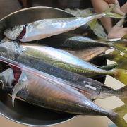 釣り舟石川丸で寒ま鯵釣り大漁です