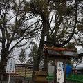 写真:阿蘇神社 高砂の松