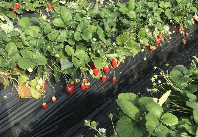大きい苺がたくさん