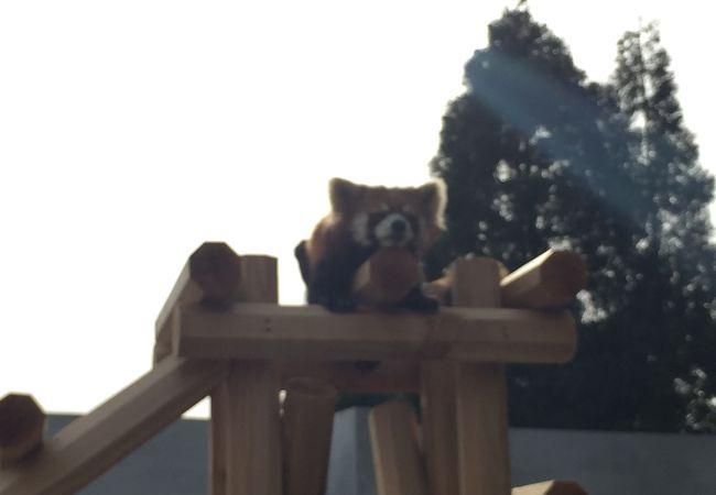 レッサーパンダが多い