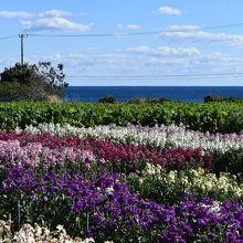 白間津花畑(花摘み)太平洋を一望