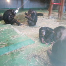 昼間のチンパンジーさん達の様子