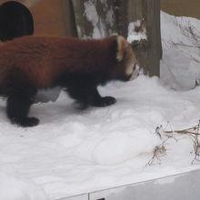 雪原を気にせずウロウロ。やっぱり撮影のタイミングは難しい。