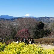 早咲きの菜の花と富士山のコラボ
