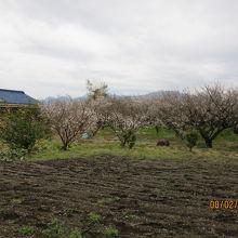 町の至る所に梅の花が咲いていた。