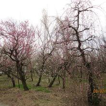 白・ピンク・赤の梅。