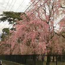 横道に咲いていた色濃い桜