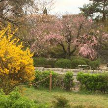 一橋大学付近の桜