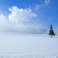 写真:クリスマスツリーの木